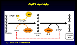 پاورپوینت اسید لاکتیک و کاربرد آن در ورزش (ویژه ارائه کلاسی درس فیزیولوژی ورزشی)